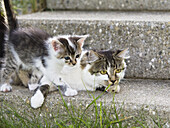 Domestic cat with young kitten, Germany