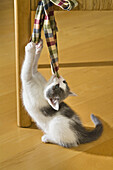 Young domestic cat, kitten playing with a bow attached to a chair, Germany