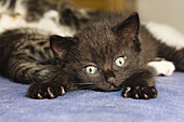 Young black domestic cat, kitten lying on the bed, Germany
