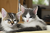 Young domestic cats, kittens Germany