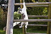Young domestic cat, kitten climbing a ladder, Germany