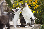 Domestic cat with her young kittens, Germany