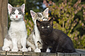 Three young kittens, domestic cats, Germany