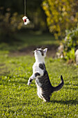 Young domestic cat, kitten playing with a feathered toy, Germany