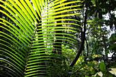 Pflanzen im Regenwald im Sonnenlicht, Havelock Island, Andamanen, Indien