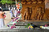 Buddhists circling the holy Bodhi tree and offering flowers at the Kelaniya Raja Maha Vihara temple, Colombo, Sri Lanka, Asia