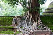 A Benjamin Ficus on top of a ruin in the Gal Vihara, Polonnaruwa, Sri Lanka, Asia