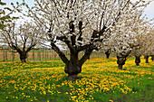 Cherry blossom near Endingen, Kaiserstuhl, Breisgau, Black Forest, Baden-Württemberg, Germany