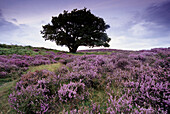 Oak surrounded by purple heather in the Peak District, Derbyshire, Great Britain