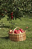 Basket with red apples under the apple tree at the meadow