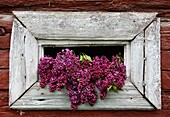 Flower bouquet made of lilacs in a wooden loop-hole