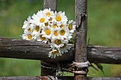 Chamomiles in a fwooden fence in summer