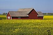 Farm in the raps field, Sweden, Europe