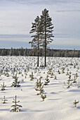 Planting of spruce in winter
