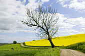 Rape field and green fields, twisted gravel road and tree, Skane, Sweden