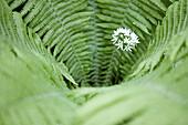 Ferns and ramsons, Stenshuvud National Park, Skane, Sweden