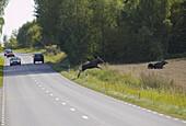 Moose crosses road