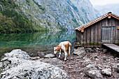 Cattle at lake Obersee, Berchtesgadener Land, Upper Bavaria, Germany