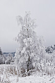 Bare tree covered with frost, Tegernseer Land, Upper Bavaria, Germany