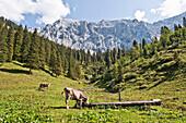 Cattle on pasture, Kochel am See, Bavaria, Germany