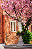 Fountain in front of a blooming almond tree, Meersburg, lake Constance, Baden-Wuerttemberg, Germany