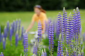 Woman cycling between lupines, Altmuehl Lake, Altmuehltal cycle trail, Altmuehltal, Bavaria, Germany