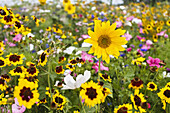 Flowering meadow with sunflowers, Helianthus annuus, Germany