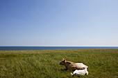 Cows in a meadow near Kaseberga, Ystad, Skane, South Sweden, Sweden