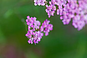 Close-up, of pink flowers in bloom, partly blurred, Bad Essen, Lower Saxony, Germany