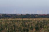Wind farm beyond cornfields, agricultural landscape, blurred foreground, Saxony-Anhalt, Germany