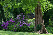 Rhododendrons in bloom and old trees in Jever castle grounds, Jever, Lower Saxony, Germany Lower Saxony, Germany