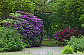 Rhododendrons in bloom and old trees in Lütetsburg castle grounds, Lütetsburg near Norden, Lower Saxony, Germany Lower Saxony, Germany