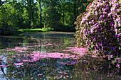 Pink rhododendron petals floating in the water, landscape garden, Breidings garden, Soltau, Lower Saxony, Germany