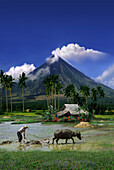 Farmer with water buffalo on rise field in front of steaming Mayon Volcano, Legazpi, Luzon Island, Philippines, Asia
