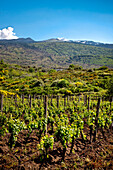 Weinanbau am Ätna, Sizilien, Italien