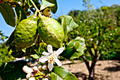 Lemon, Garden of Kolymbetra, Valley of temples, Agrigento, Sicily, Italy