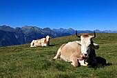 Kühe vor Bergkulisse, Bergwanderung zum Monte Tamaro, Tessin, Schweiz