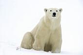 Polar bear Ursus maritimus Resting in snow along Hudson Bay coastline