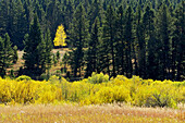 Single aspen tree in coniferous forest at edge of autumn wetland