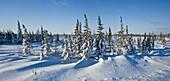 Boreal trees and fresh snow