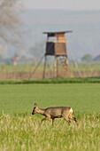 Roe deer in front of hunting hide, Capreolus capreolus, Germany