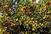 Florida Kumquat Grove Lake Wales Florida