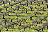 Olive tree groves farms agriculture Agrigento Province Sicily Italy