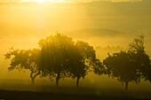 Orchard, fruit trees at sunrise in morning fog, Franconian Switzerland, Bavaria, Germany