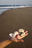 Shells and corals collected from pristine beach of Maputalan coast near Rocktail Bay Lodge, Kosi Bay. KwaZulu Natal, South Africa