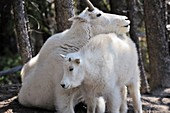 Mountain goat Oreamnos americanus mother and kid in Jasper National Park  Rocky Mountains, Alberta, Canada