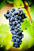 Grapes from the Priorat region  Designation of origin or wine appellation  Quality wines  Catalonia