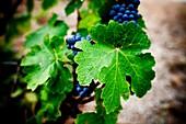 Grapes from the Priorat region  Designation of origin or wine appellation  Quality wines  Catalonia, Spain