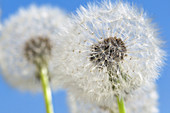 Detailed View of Dandelion Seed With Blue Sky
