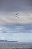 Flying gull, Cousine Island, Seychelles